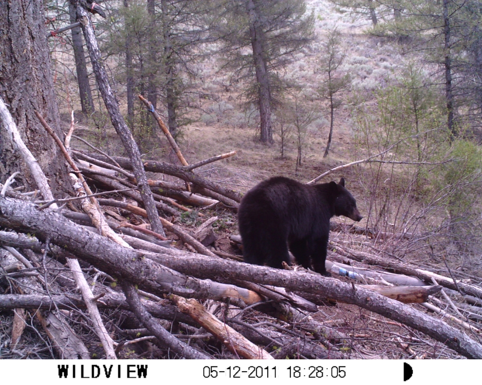 Bear hunting in Idaho