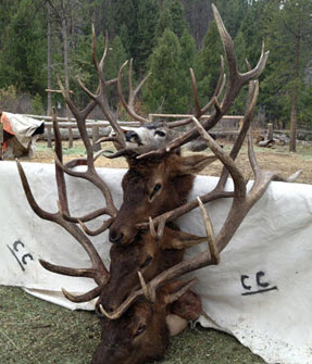 Idaho Elk Hunts, Idaho Elk Hunting and quality Elk Hunts.